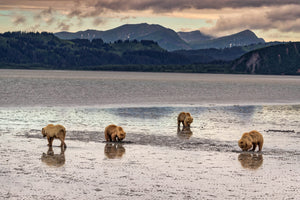 4 coastal brown bears, bears clamming in Alaska, Rob's Wildlife