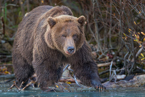 Powerful Grizzly Bear Art by Rob's Wildlife