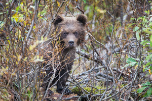 Grizzly Bear Cub in woods