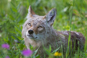 Coyote staring at bee, mesmerized, wildlife photography