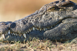 Crocodile Closeup, Wildlife Photography by Rob's Wildlife
