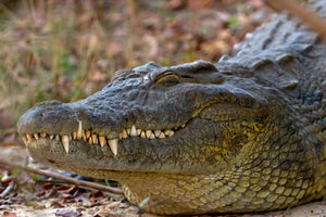 Crocodile Art, Crocodile Photography by Rob's Wildlife