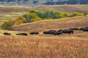 * Custer State Park Buffalo Roundup 092917-4962