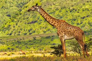 Giraffe Full Body Print, Africa Safari, Giraffe Photography Print by Rob's Wildlife