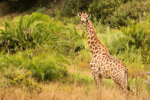 Africa wildlife, safari, Giraffe photography print by Rob's Wildlife