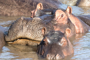 Mom and baby hippo, hippopotamus, africa art