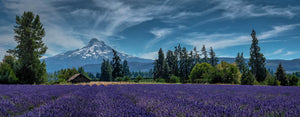 Lavender Fields, Field of Flowers, Tranquil Landscape Photography by Rob's Wildlife