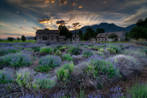 Lavender Fields Sunrise, Landscape Photography by Rob's Wildlife
