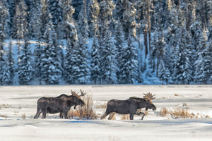 Two moose walking through snow in winter, Wildlife photography by Rob's Wildlife