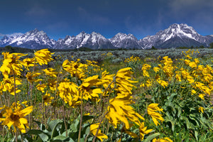 Sunflower field in front of Mountains
