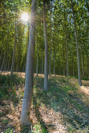 Sunburst, Sunrise through Poplar Trees by Rob's Wildlife