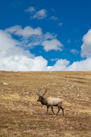 Bull Elk on Hill, Wildlife Photography by Rob's Wildlife