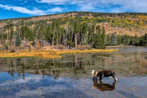 Bull Moose grazing in water
