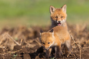 Two fox kittens, fox pups, 2 baby fox, baby animal art by Rob's Wildlife