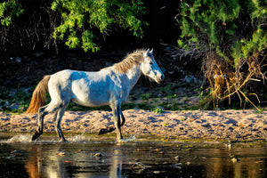 Wild Stallion, White Horse Photography Print