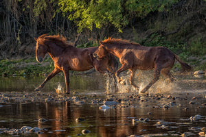 Wild stallions chase eachother at sunrise on the river