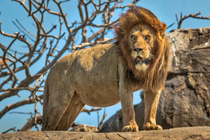 King of the Jungle - Iconic lion fine art by Rob's Wildlife
