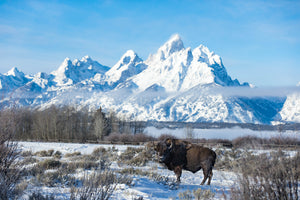 Bison in front of Mount Moran, Buffalo Art, Snow, Mountain, Rob's Wildlife
