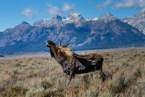 Bugling Bull Moose in front of mountains by Rob's Wildlife