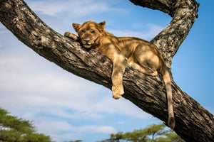 Juvenile lion in the wild, African wildlife photography
