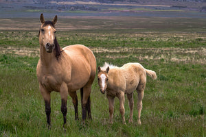 Wild Buckskin, Mama baby horse art by Rob's Wildlife