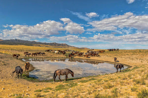 Wild Horses around water hole, Horse Photography Art by Rob's Wildlife