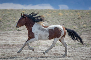 Paint Horse, Galloping Horse, Brown and White Horse by Rob's Wildlife