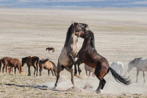 Sparring Horses, Wild Mustang Photography Print by Rob's Wildlife