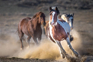 Galloping Paint Horse, Wild Mustang, Horse Photography by Rob's Wildlife