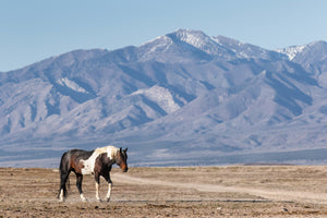 Brown and White Paint Horse Photography Print by Rob's Wildlife