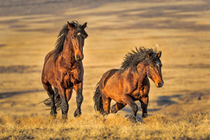 Two brown wild horses, wild mustangs, Robs Wildlife