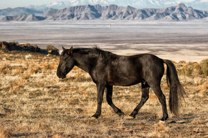 Black Horse, Wild Mustang Art, Horse Photography by Rob's Wildlife