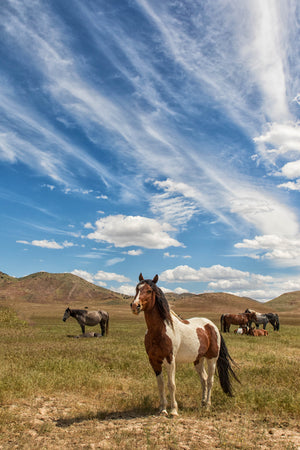 Wild Horse Photography Print, Brown and White Paint Horse by Rob's Wildlife