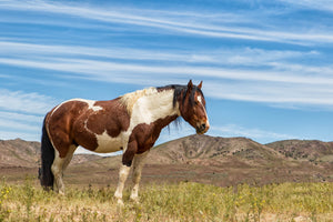 Brown and white paint horse - horse photography print