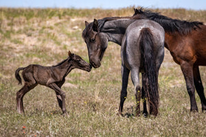 Newborn Horse Kisses, Wild Horse Photography Print by Rob's Wildlife