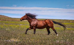 Seal Brown Horse, Wild Stallion Photography Print by Rob's Wildlife