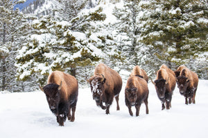 Bison walking in a line, snow, winter, evergreen by Rob's Wildlife
