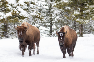 Two bison in snow, evergreen trees, wildlife photography by Rob's Wildlife
