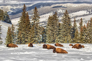 Bison in winter, Buffalo in deep snow, wildlife photography by Rob's Wildlife