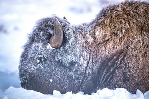 Bison side profile, buffalo closeup, buffalo in snow by Rob's Wildlife