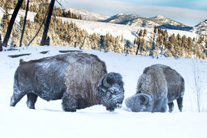 2 bison in the snow, frost covered buffalo