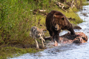 Bear chasing a wolf by Rob's Wildlife