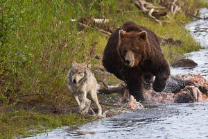 Bear chasing the wolf by Rob's Wildlife