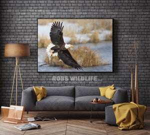 Soaring Bald Eagle beige white blue gray background Rob's Wildlife