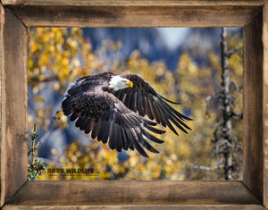 Swooping American Bald Eagle in Alaska, Robs Wildlife