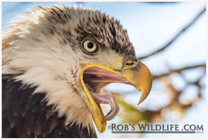 Bald Eagle Closeup, Bald Eagle Fine Art