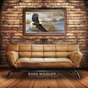 Large Bald Eagle photography metal print by Rob's Wildlife