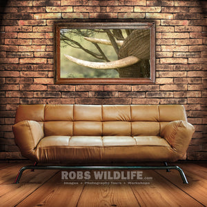 Elephant tusk in tree, africa animal wall art by Robs Wildlife