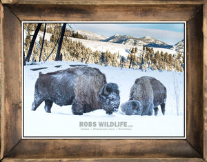 2 bison in the snow, frost covered buffalo art in frame