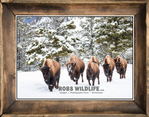 Framed Bison art, buffalo walking in a line, snow, winter, evergreen by Rob's Wildlife